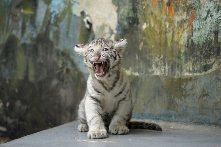 An eight-week-old white tiger (Panthera tigris) cub growls after a medical examination by veterinary surgeons at Bratislava Zoo. (Radovan Stoklasa/Reuters)