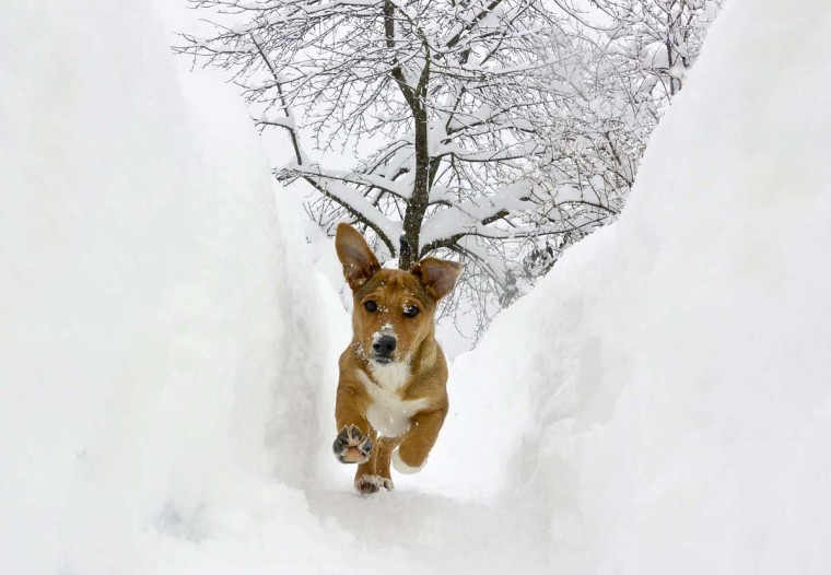 A dog runs in a snow shaft in Ljubljana February 24, 2013. About 15 inches of snow fell on Saturday night, according to local weather forecasts. (Srdjan Zivulovic/Reuters)