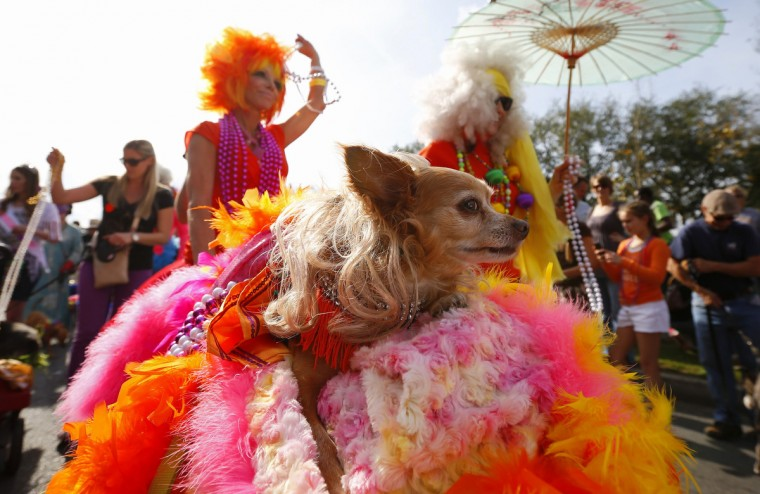 A dog in The Krewe of Barkus parade is pushed around the French Quarter during the Mardi Gras 2013 celebration in New Orleans, January 27, 2013. (Jeff Haynes/Reuters)