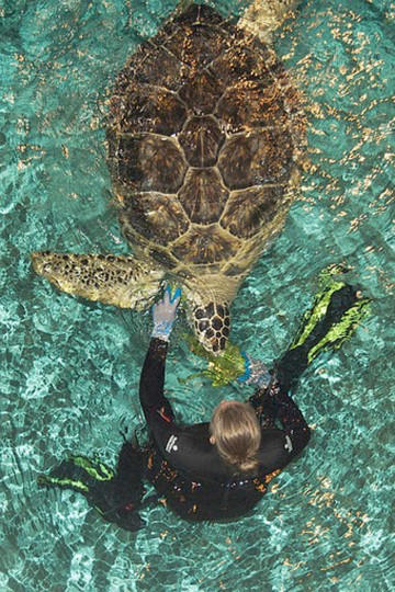 4:55 p.m.: A diver at the National Aquarium feeds Calypso the green sea turtle. (Photo by bwalk)