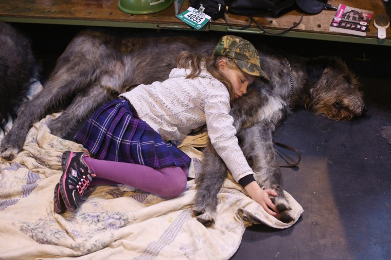 Caitlin, aged 9, sleeps on her Irish wolfhound on the first day of Crufts dog show at the NEC on March 7, 2013 in Birmingham, England. (Oli Scarff/Getty Images)