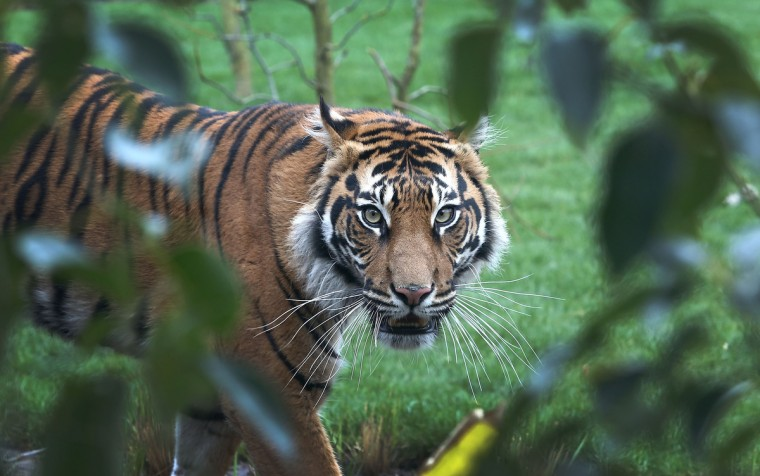 Sumatran tiger Melati looks on in her enclosure during the opening of London Zoo's new Tiger Territory, a 3.6GBP million project to house Sumatran tigers Jae Jae and Melati, at ZSL London Zoo in London, England. (Tim P. Whitby/Getty Images)