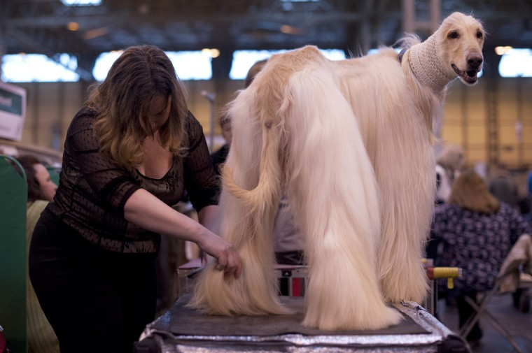 "An Afghan Hound is groomed during the first day of the Crufts dog show in Birmingham, in central England on March 7, 2013. The annual event sees dog breeders from around the world compete in a number of competitions with one dog going on to win the ""Best in Show"" category. (Ben Stansall/Getty Images)"