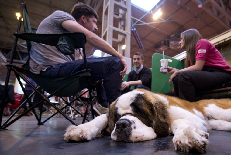 A Saint Bernard dog rests during the first day of the Crufts dog show in Birmingham, in central England. (Ben Stansall/Getty Images)