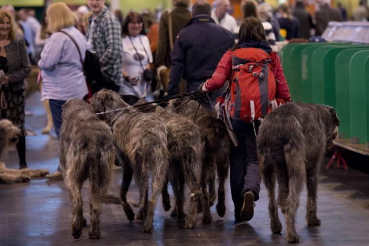 A woman walks with five Irish Wolf Hounds during the first day of the Crufts dog show in Birmingham, in central England. (Ben Stansall/Getty Images)