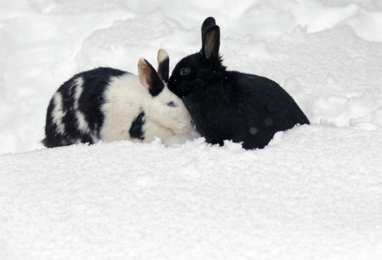 Rabbits warm sit in snow in Marlow, northern Germany. (Bernd Wustneck/Getty Images)