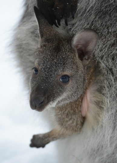 A young red-necked wallaby looks out of the pouch of its mother at the zoo in Stralsund, Germany. More than 900 animals and 120 species are featured at the zoo in Stralsund. (Stefan Sauer/Getty Images)