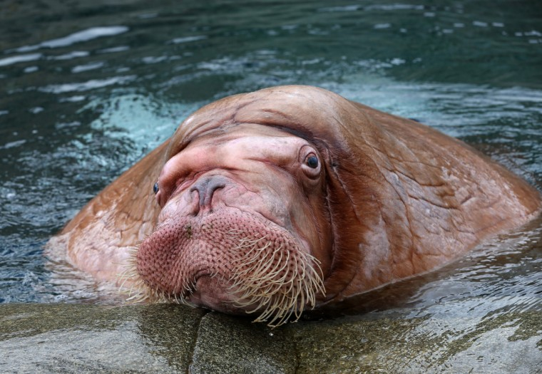 Male walrus Odin is pictured in the Polar Sea enclosure at the Hagenbeck Zoo in Hamburg, Germany. After long preparations four walruses have been brought from the zoo in Moscow to Hamburg. (Christian Charisius/Getty Images)