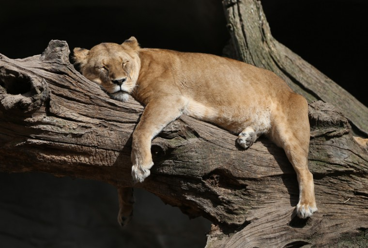A lion lies in the sun in its enclosure at the Tierpark zoo Hagenbeck in Hamburg, Germany. (Christian Charisius/Getty Images)