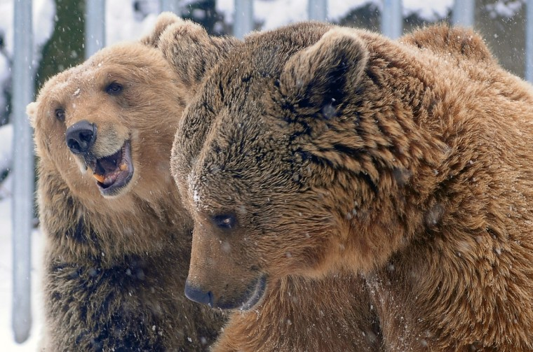 Brown bears play in their snow-covered enclosure at the Budapest Zoo and Botanic garden of the Varosliget public park in the Hungarian capital. (Attila Kisbenedek/Getty Images)