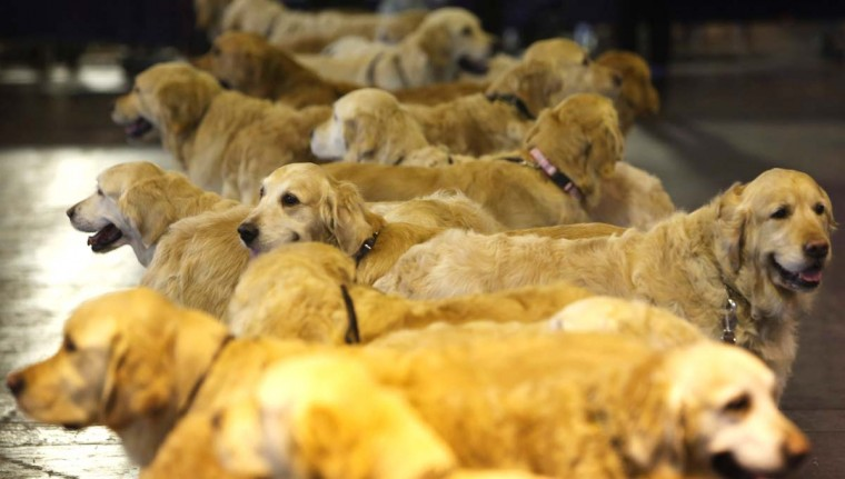 Golden retrievers meet up during the final day at Crufts Dog Show on March 10, 2013 in Birmingham, England. During this year's four-day competition over 22,000 dogs and their owners will vie for a variety of accolades but ultimately seeking the coveted 'Best In Show'. (Rosie Hallam/Getty Images)