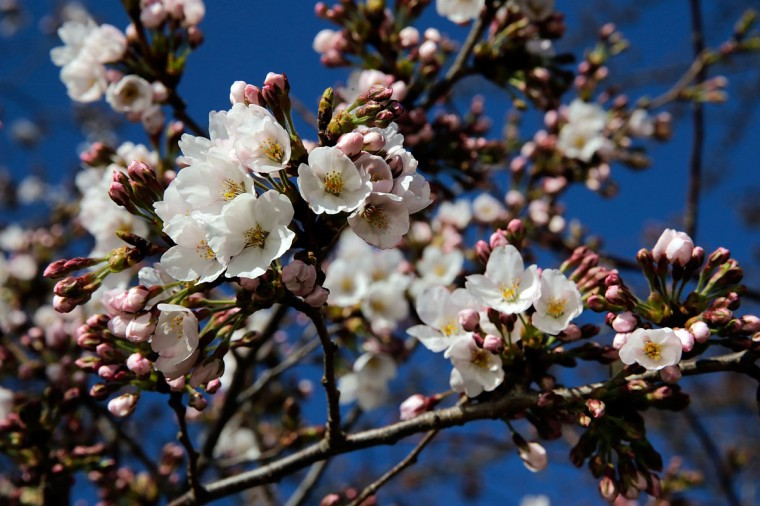 April 3, 2013: Cherry blossoms slowly start to open around the Tidal Basin. (Win McNamee/Getty Images)