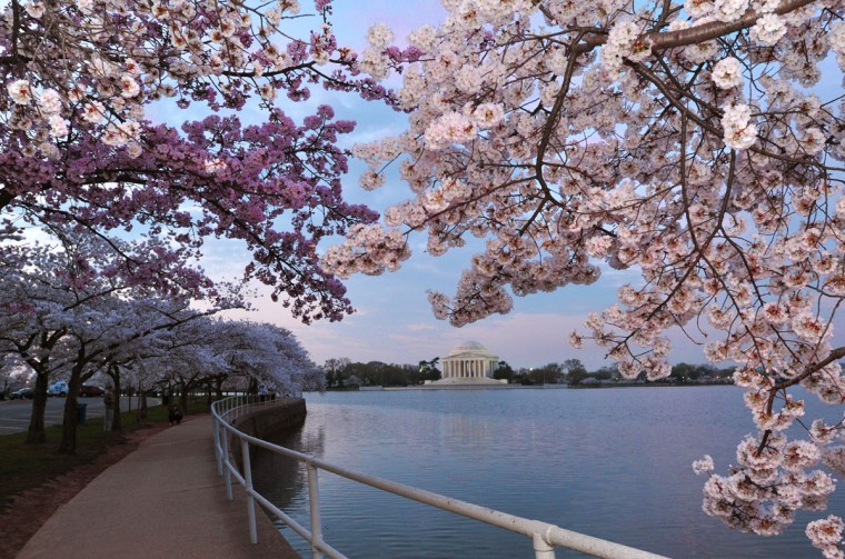 March 19, 2012: The Jefferson Memorial in Washington, DC is seen as a back drop to the Cherry blossoms, which have come full bloom due to the early warm weather along the East coast of the US. (Karen Bleier/AFP/Getty Images)