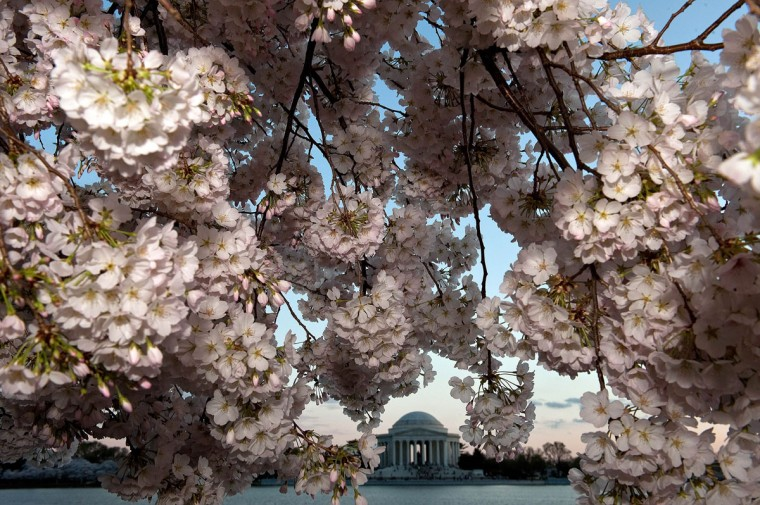 March 19, 2012: The Jefferson Memorial is seen behind cherry blossoms, which have come into full bloom due to the early warm weather along the East coast of the US, in Washington. (Nicholas Kamm/AFP/Getty Images)