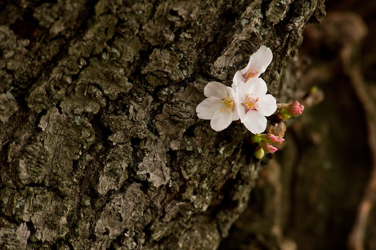 March 22, 2012: Cherry blossoms in full bloom on trees around the Tidal Basin in Washington, DC. (Karen Bleier/AFP/Getty Images)