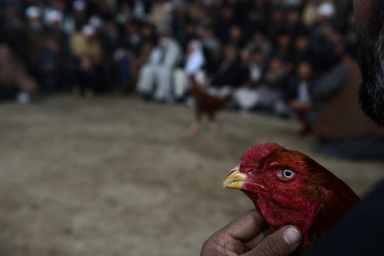 An Afghan man holds his rooster as he watches a cock-fighting tournament in Kabul on March 1, 2013. (Shah Marai/AFP/Getty Images)