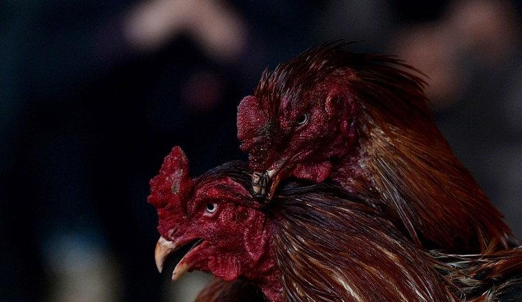 Roosters duel during a break in an Afghan cock-fighting tournament in Kabul on March 1, 2013. (Shah Marai/AFP/Getty Images)