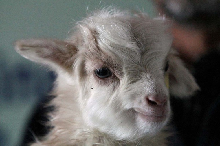 In this photograph taken on on March 15, 2012, cloned pashmina goat Noori is pictured at a laboratory near Srinagar. Heavy snow has killed nearly 25,000 pashmina goats in the Indian Himalayas, threatening supplies of silky cashmere wool used to make high-end scarves, an official said on March 5, 2013. (AFP/Getty Images)