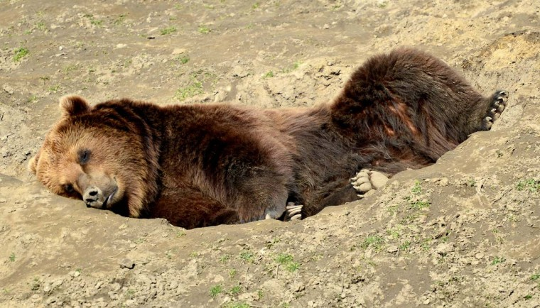 A brown bear lies in his enclosure at the Gelsenkirchen zoo and enjoys the sunny early spring day on March 5, 2013 in Gelsenkirchen, western Germany. (Caroline Seidel/AFP/Getty Images)