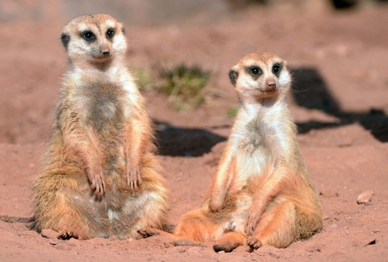 Meerkats enyoy the sun at the zoo on March 2, 2013 in Erfurt, Germany. (Martin Schutt/AFP/Getty Images)