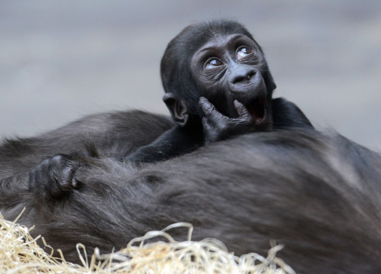 Kijivu, a western lowland gorilla, holds her three months old baby as they rest at the Zoo in Prague. (Michal Cizek/AFP/Getty Images)