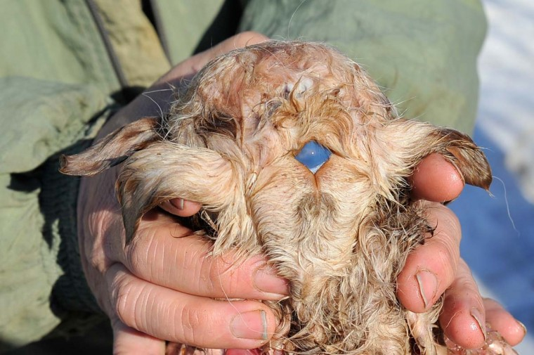 A picture taken on March 16, 2013, shows Kazakh farmer Kuandyk Bekitayev displaying what he calls the body of three-eyed and eight-legged lamb that was born three days ago at his farm in outskirts of the city of Pavlodar in north eastern Kazakhstan.The blue spot on back of the lamb's head is the animal's third eye Bekitaev said. The media quoted Bekitayev as saying that the mutation was caused by poor environment situation in the region. The lamb did not survive Bekitaev said. (Vladimir Bugaye/AFP/Getty Images)