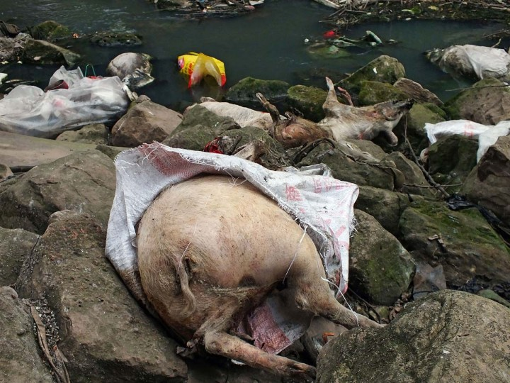 This picture taken on on March 12, 2013 shows dead pigs lying on rocks next to a dirty tributary of the Yangtze River in a village in Yichang, in central China's Hebei province, some 1,200 kms from the eastern city of Shanghai. Meanwhile, the number of dead pigs found in the Huangpu river running through China's commercial hub Shanghai has reached more than 13,000, state media said on March 18, as mystery deepened over the hogs' precise origin. (AFP/Getty Images)