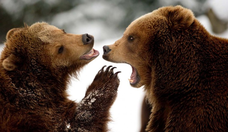 Two brown bears play in the snow on March 18, 2013 at the Tierpark Hagenbeck zoo in Hamburg, northern Germany. Temperatures in the Hanseatic city were around the freezing point. (Sven Hoppe/AFP/Getty Images)