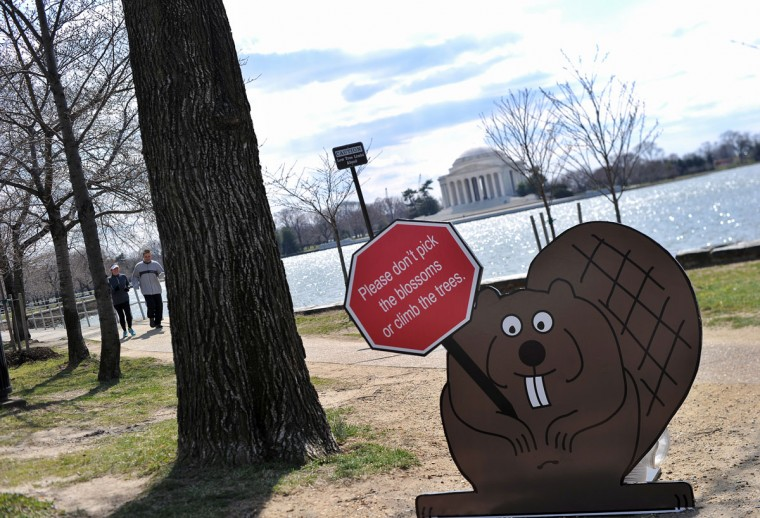 March 21, 2013: A cut of a squirrel holding a sign advising visitors not to pick the blossoms or climb the Cherry trees is seen along the Tidal Basin in Washington, DC. (Jewel Samad/AFP/Getty Images)