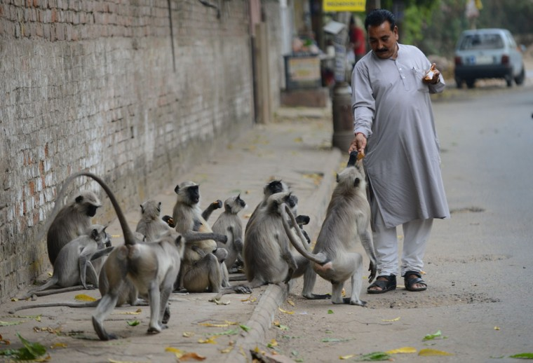Langur Monkeys take food handouts from an Indian pedestrian in Ahmedabad. In India, monkeys are regarded as Lord Hanuman and are fed well in many regions across the country. Sam Panthaky/AFP/Getty Images)