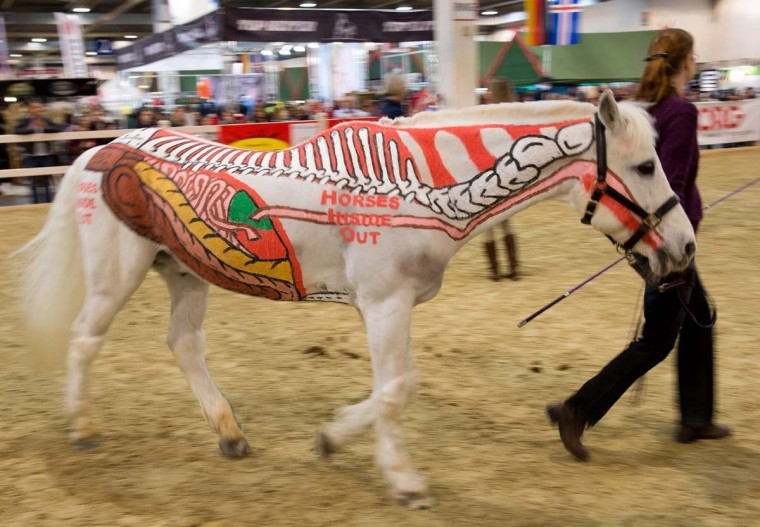 Parts of the skeleton and organs of a horse are painted on a horse at the equestrian fair Equitana in Essen, western Germany, on March 24, 2013. Under the motto 'horses inside out', the white horse advertises a book by Gillian Higgins, which is about the anatomy of horses. (Bernd Thissen/AFP/Getty Images)