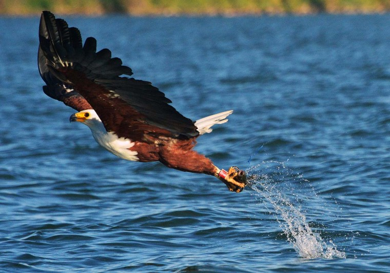 An African fishing eagle catches a fish in Lake Baringo, Kenya on March 24, 2013. The African fishing eagle in Lake Baringo is under threat as goat farmers in the area have taken to throwing fish laced with poison into the river to kill off crocodiles which eat their cattle. The fish eagles see the fish and consume them first leading to a fall in their population. (Carl de Souza/AFP/Getty Images)