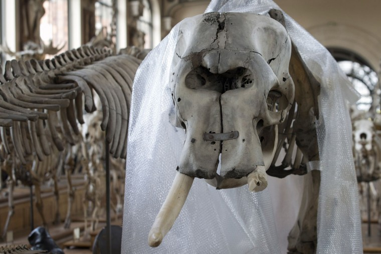 An elephant skeleton with one of its trunks chopped off by a thief is pictured at the Natural History museum in Paris on March 30, 2013. A young man was arrested by the police on the night of 29-30 March after attempting to steal the tusks of an elephant having belonged to Louis XIV by using a chainsaw to chop them off, according to the Higher Education and Research Ministry. (Joel Saget/AFP/Getty Images)