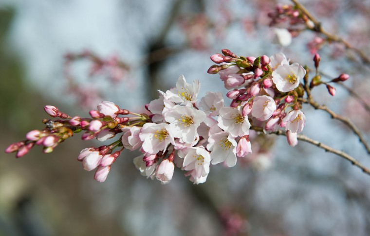 April 4, 2013: Cherry blossoms begin to open on trees near the Tidal Basin in Washington. The National Park Service predicts that the trees will reach peak bloom over the next few days. (Karen Bleier/AFP/Getty Images)
