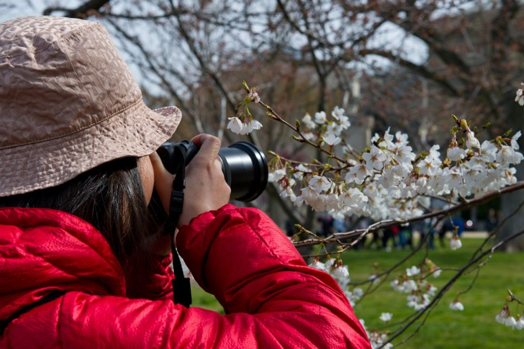 April 4, 2013: A woman takes pictures of cherry blossoms beginning to open near the Tidal Basin in Washington. (Karen Bleier/AFP/Getty Images)