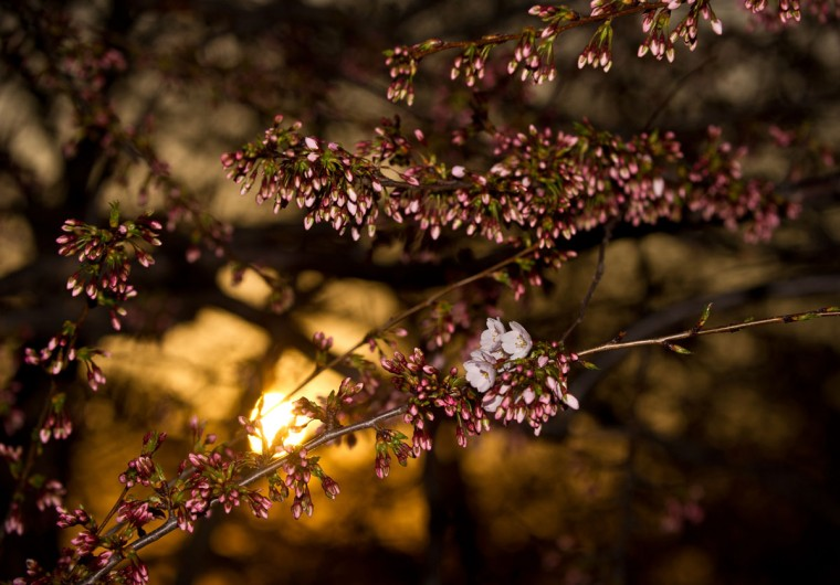 April 5, 2013: The sun sets on the Tidal Basin as cherry blossoms begin to bloom in Washington. (Nicholas Kamm/AFP/Getty Images)