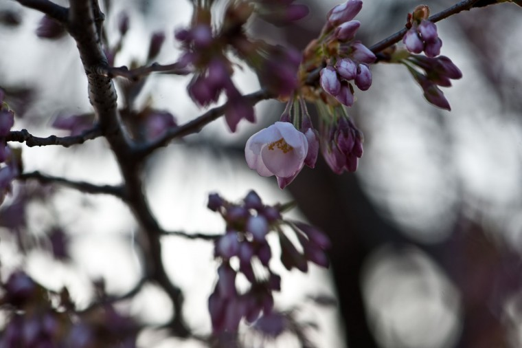 April 5, 2013: Cherry blossoms begin to bloom by the Tidal Basin in Washington. (Nicholas Kamm/AFP/Getty Images)