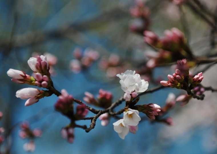 March 25, 2011: Cherry blossoms are seen at the Tidal Basin in Washington, DC. (Mandel Ngan/AFP/Getty Images)