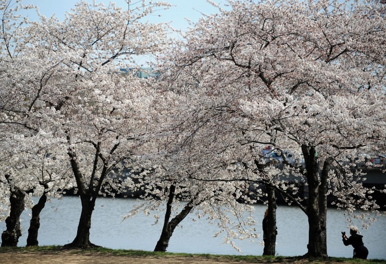 March 29, 2011: A woman takes pictures of cherry blossoms at the Tidal Basin in Washington, DC. (Jewel Samad/AFP/Getty Images)