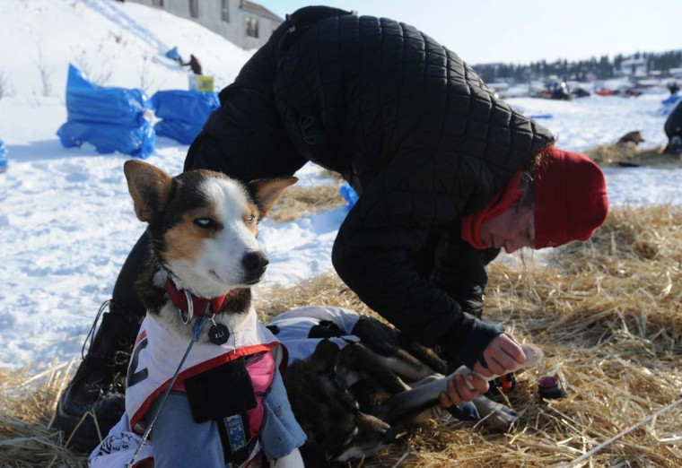 Aliy Zirkle puts booties on her dogs prior to leaving White Mountain, Alaska, on Tuesday, March 12, 2013, during the Iditarod Trail Sled Dog Race. (Bill Roth/Anchorage Daily News/MCT)