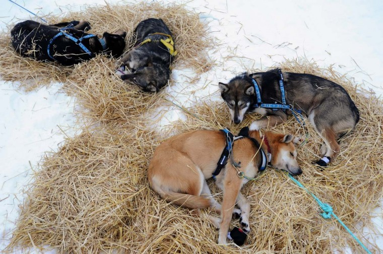 Brownie, foreground, a sled dog in Mike Surenant's team from Chugiak rests at the Iditarod checkpoint on Finger Lake, Alaska, Monday, March 4, 2013. (Bill Roth/Anchorage Daily News/MCT)