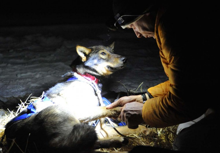 Four-time Iditarod champion Martin Buser examines one of his dogs after becoming the first musher to reach the Yukon River when he arrived in the Anvik checkpoint at 2:17 a.m., Friday, March 8, 2013. (Bill Roth/Anchorage Daily News/MCT)