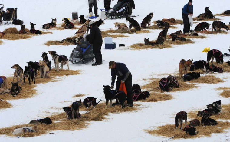 Musher Sonny Lindner of Two Rivers snacks his dogs before leaving the Iditarod checkpoint on Finger Lake, Alaska, Monday, March 4, 2013. (Bill Roth/Anchorage Daily News/MCT)