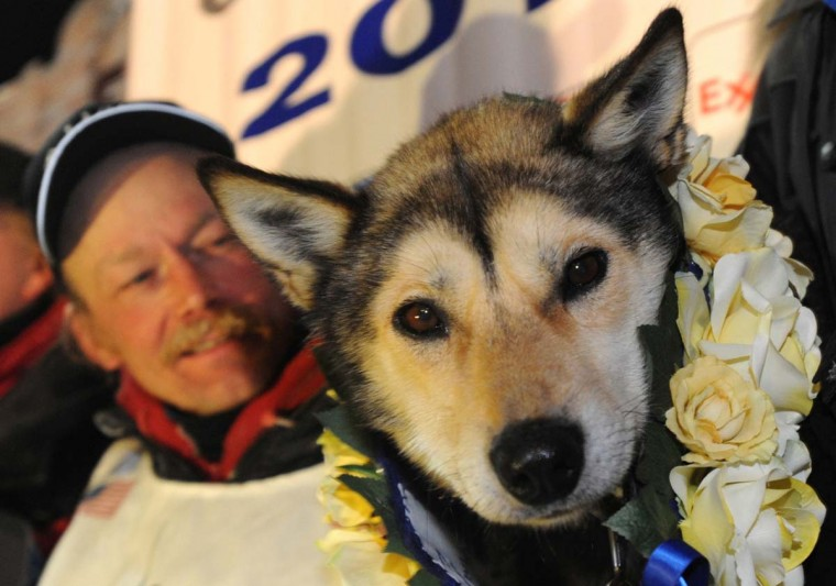 Mitch Seavey, with his dog Taurus, became a two-time Iditarod champion when he drove his dog team under the burled arch in Nome, Alaska on Tuesday evening, March 12, 2013. Seavey, 53, had won the race previously in 2004. (Bill Roth/Anchorage Daily News/MCT)