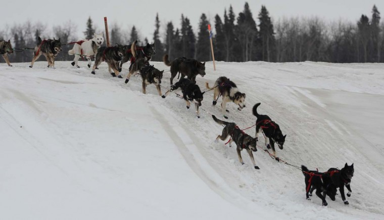 Musher John Baker's dogs cross an island in the Yukon River as they near the Iditarod checkpoint in Anvik, Alaska, on Friday, March 8, 2013. (Bill Roth/Anchorage Daily News/MCT)