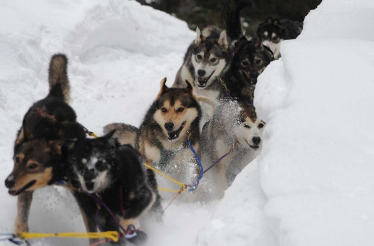 Sled dogs in Anna Berington's team negotiate a steep drop off in the trail leaving the Iditarod checkpoint on Finger Lake, Alaska, Monday, March 4, 2013. (Bill Roth/Anchorage Daily News/MCT)