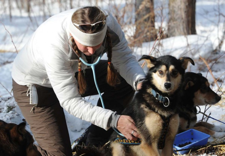 Iditarod Veterinarian Julie Kittams examines Jubilee after Christine Roalofs arrived at the Rohn checkpoint on Tuesday, March 5, 2013, in Rohn, Alaska. (Bill Roth/Anchorage Daily News/MCT)