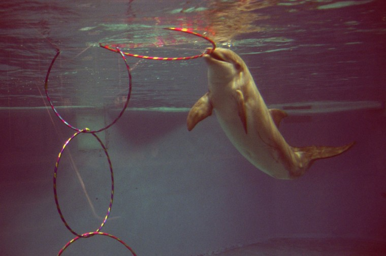 """November 11, 2002: At the National Aquarium in Baltimore, 10 year old male dolphin """"Shadow"""" plays with a weighted set of hula hoops which was made by aquarium staff as enrichment tools for keeping their animals happy through play. (Barbara Haddock Taylor/Baltimore Sun)"""