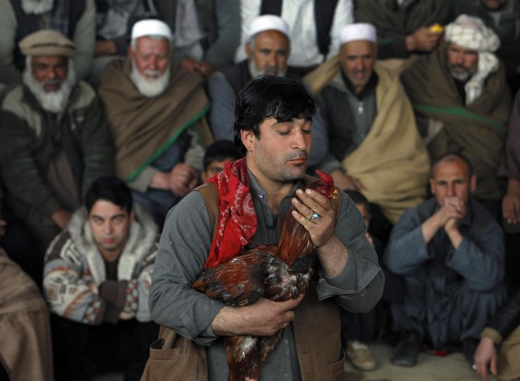 An Afghan man prepares his rooster before it battles in a traditional cockfighting competition in Kabul March 1, 2013. (Omar Sobhani/Reuters)