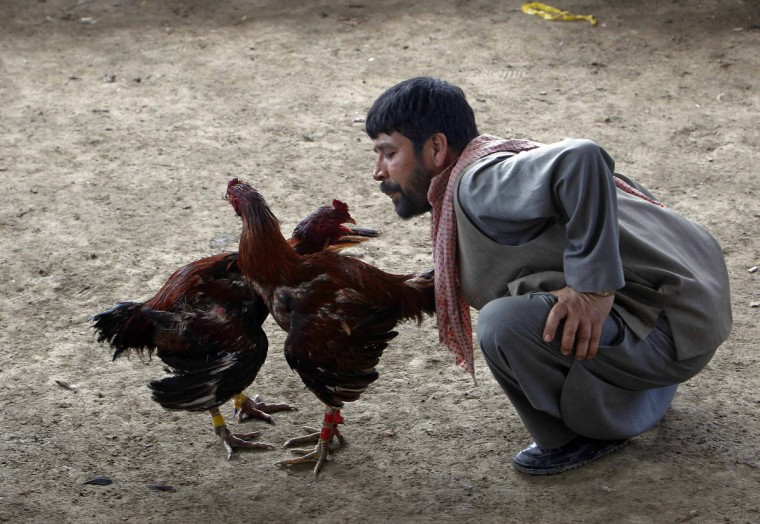 An Afghan man coos his rooster during a traditional cockfighting competition in Kabul March 1, 2013. (Omar Sobhani/Reuters)